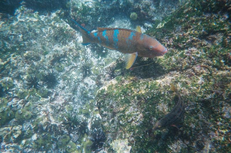 Bluestripefish