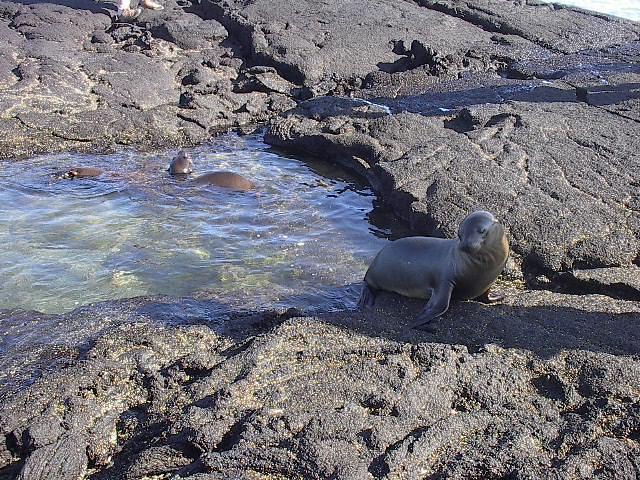 Fernandina_sea_lions_cute