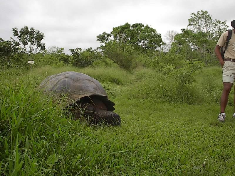 Sta_cruz_tortoise